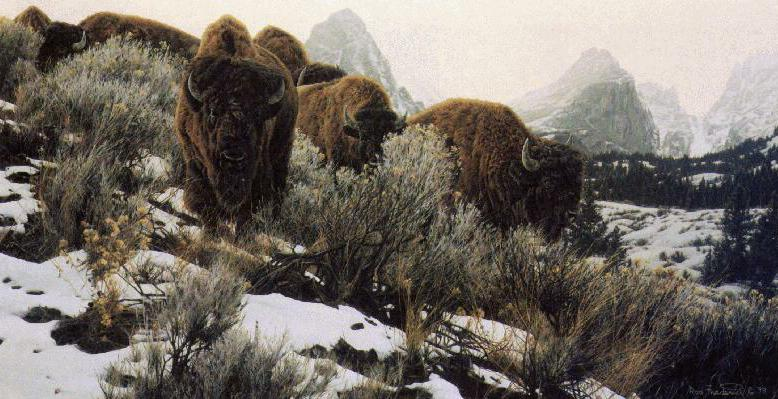미국 들소 (North American Bison painting); Image ONLY