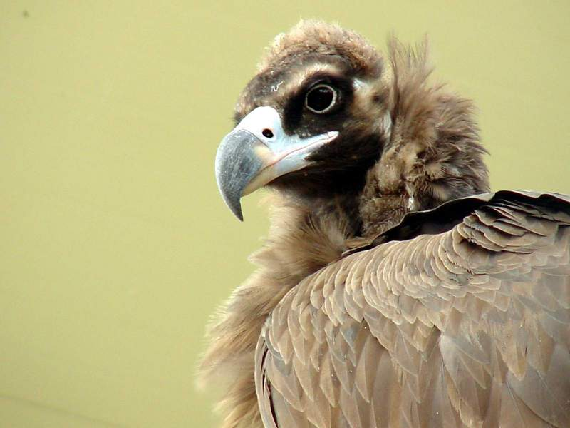 Cinereous vulture -- Eurasian Black Vulture; DISPLAY FULL IMAGE.