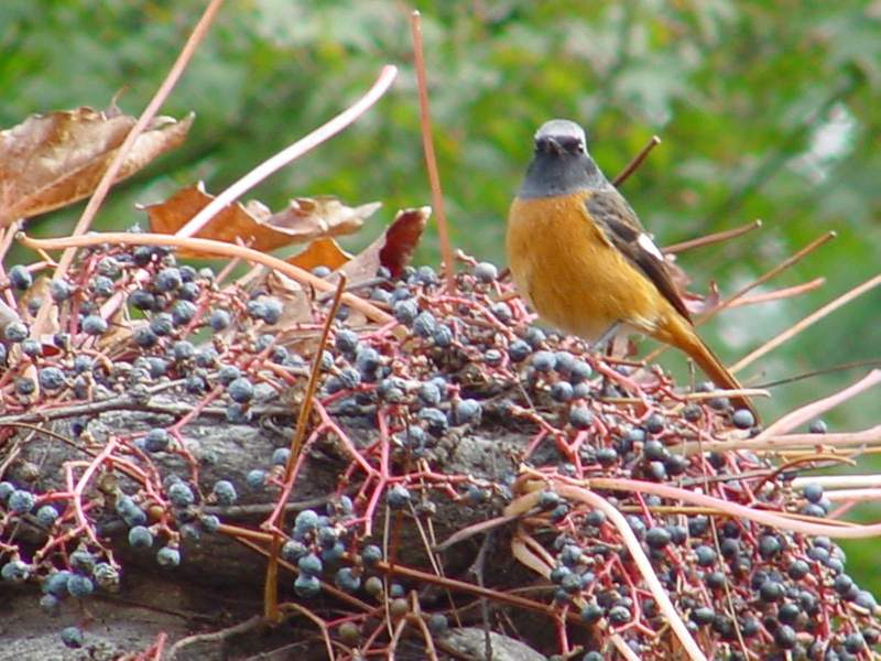 Daurian Redstart; DISPLAY FULL IMAGE.