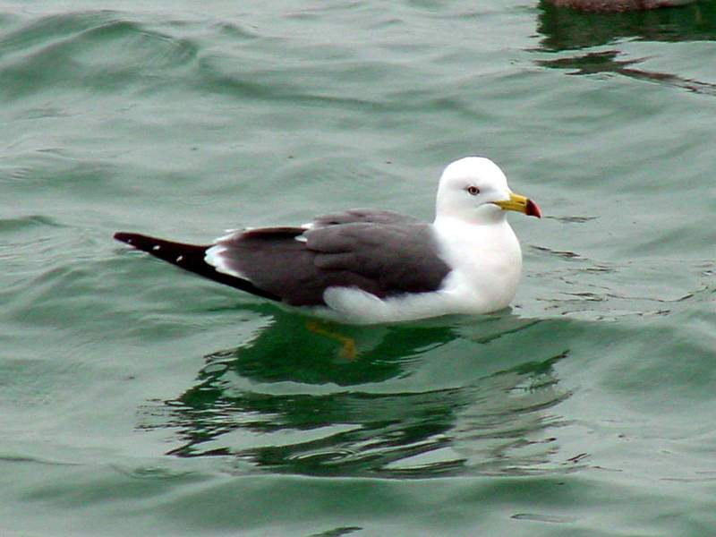 Black-tailed Gull; DISPLAY FULL IMAGE.