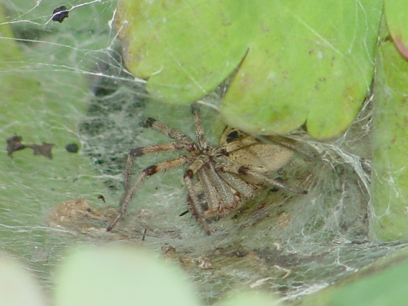 Funnel Web Spider; DISPLAY FULL IMAGE.
