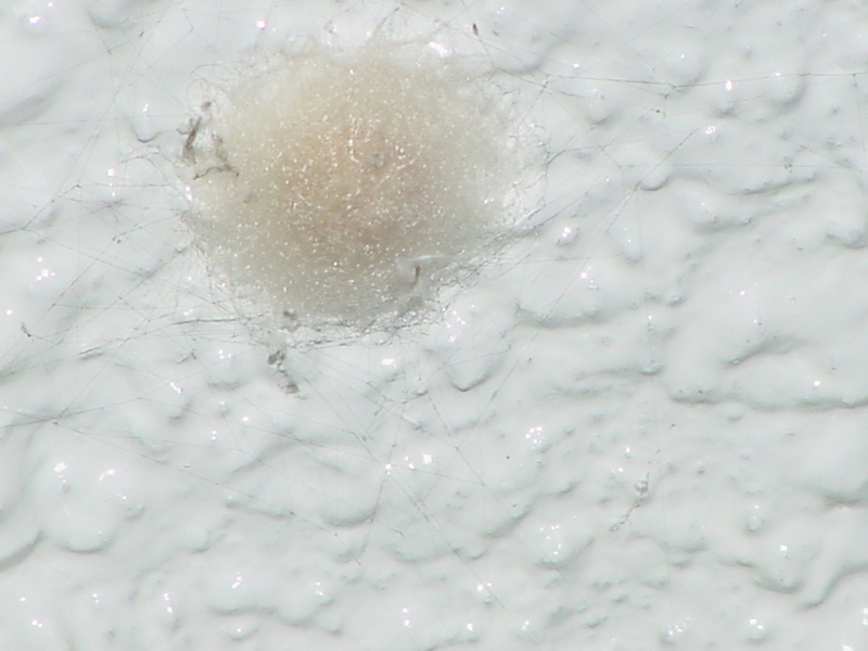 Orb-web Spider (egg pouch); DISPLAY FULL IMAGE.