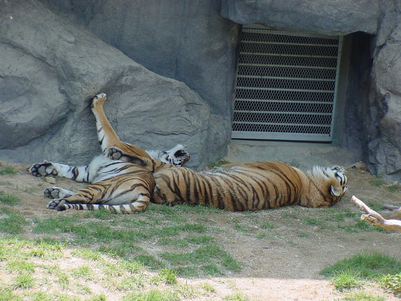 Siberian Tigers sleeping; DISPLAY FULL IMAGE.