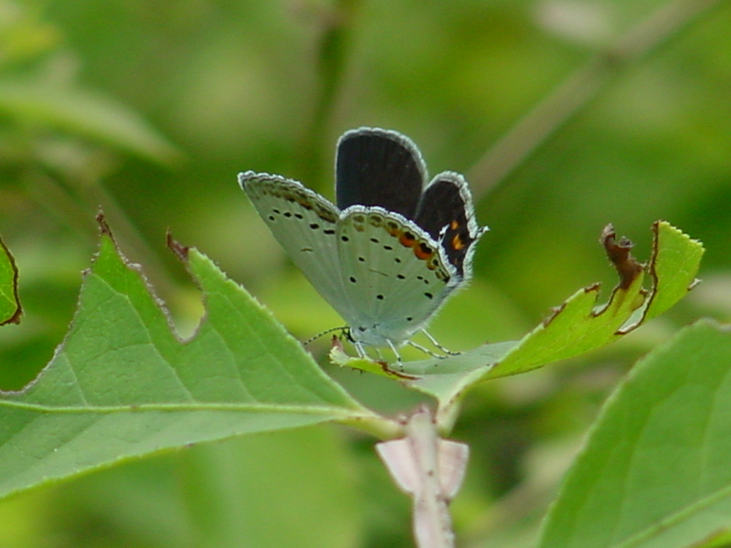 Short-tailed Blue Butterfly; DISPLAY FULL IMAGE.