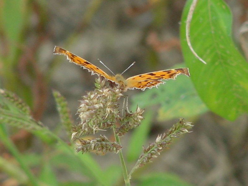 Asian Comma Butterfly; DISPLAY FULL IMAGE.