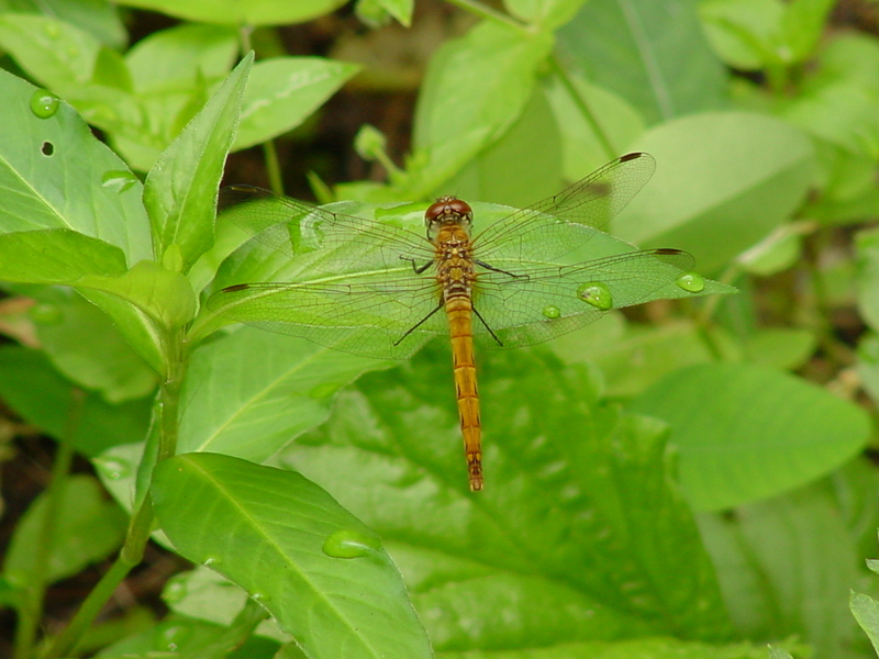 Common Darter (Dragonfly); DISPLAY FULL IMAGE.