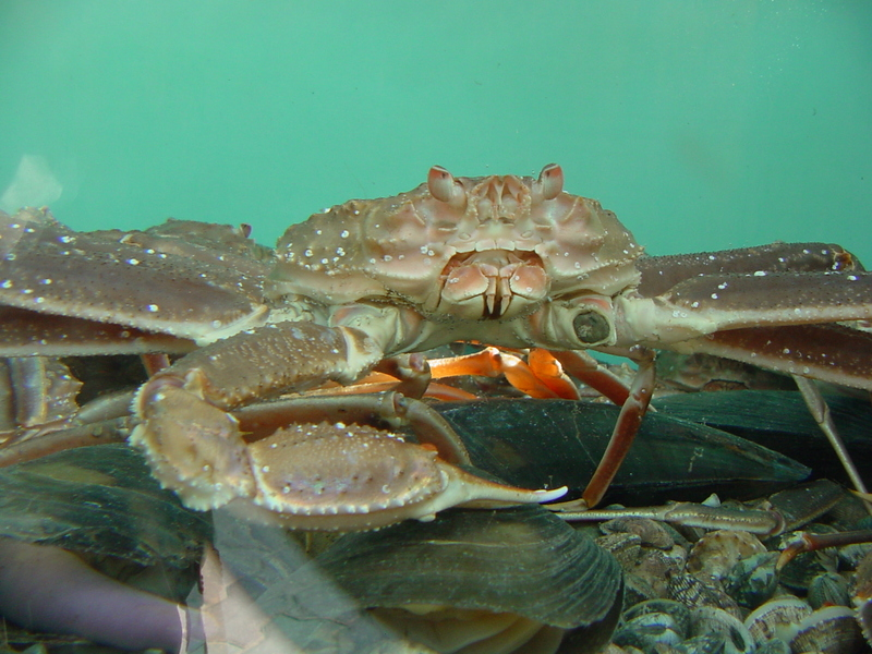 Snow crabs; DISPLAY FULL IMAGE.