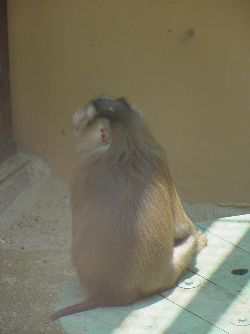 Pig-tailed Macaque; DISPLAY FULL IMAGE.
