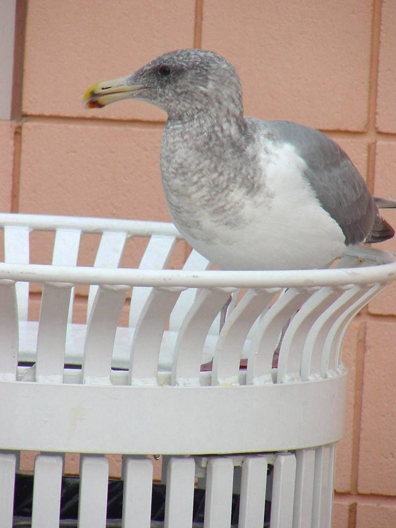 American Herring Gull on wastebasket; DISPLAY FULL IMAGE.