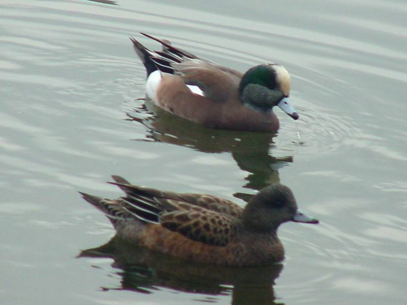 American Wigeons; DISPLAY FULL IMAGE.