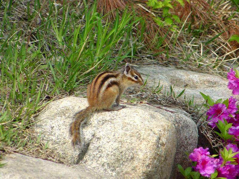 다람쥐 Tamias sibiricus asiaticus (Korean Chipmunk); DISPLAY FULL IMAGE.