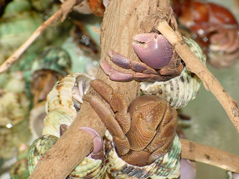 Land Hermit Crabs; DISPLAY FULL IMAGE.