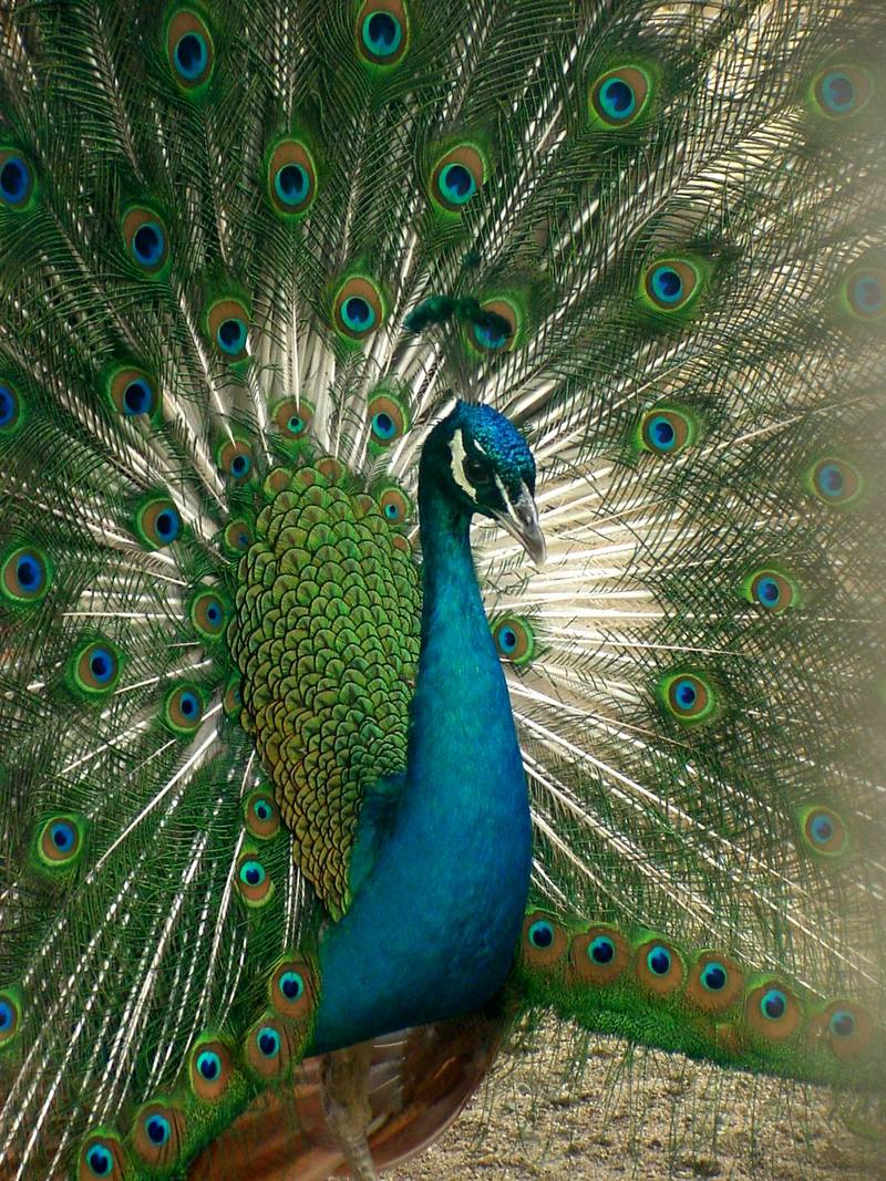 Indian Peacock - Blue peafowl (Pavo cristatus) - 인도공작(印度孔雀); DISPLAY FULL IMAGE.