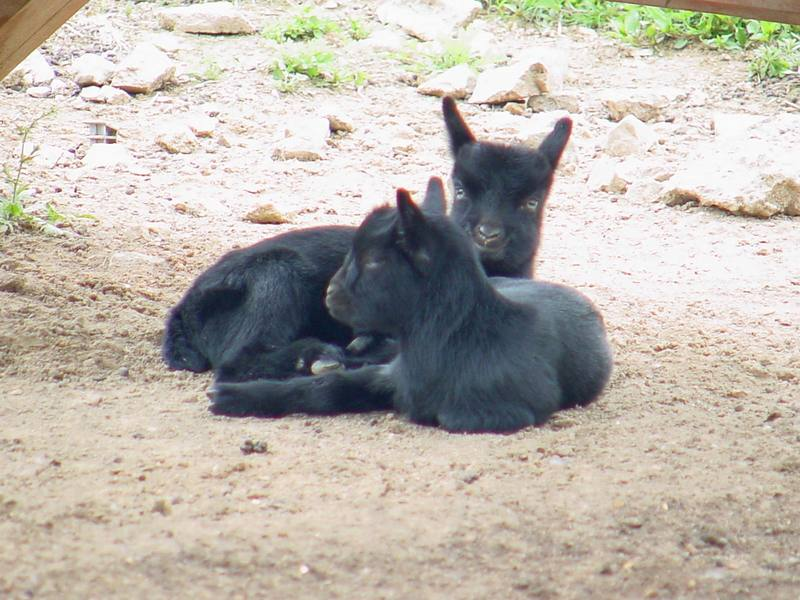 Black goats; DISPLAY FULL IMAGE.
