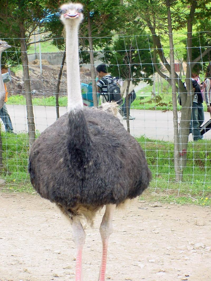 Ostrich; DISPLAY FULL IMAGE.