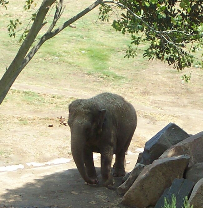 Asian Elephant; Image ONLY