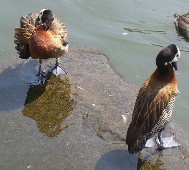White-faced Whistling Ducks; Image ONLY