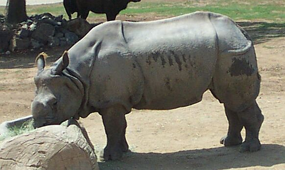 Indian Rhinoceros; Image ONLY