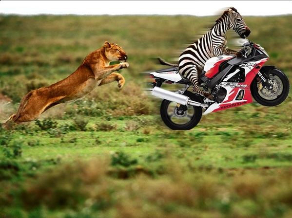 Go Zebra! A lion chasing zebra the biker!; Image ONLY