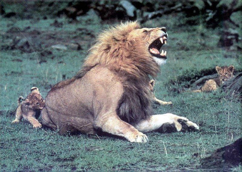 Lion 01.jpg