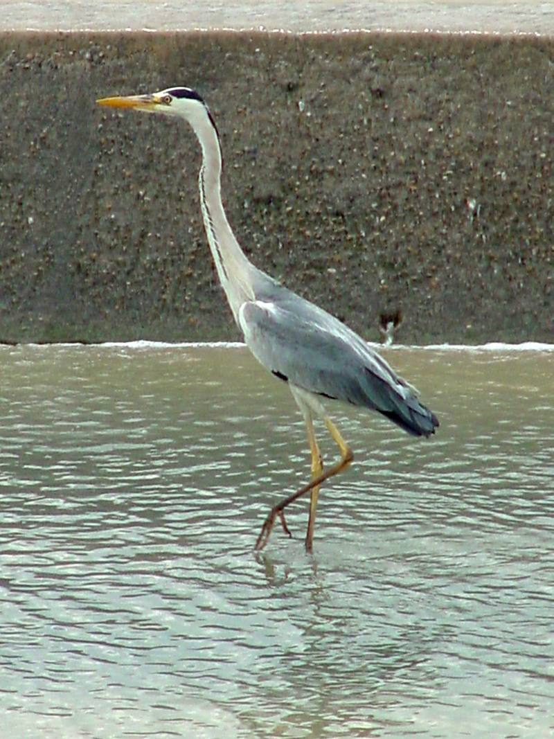 Grey Heron; DISPLAY FULL IMAGE.