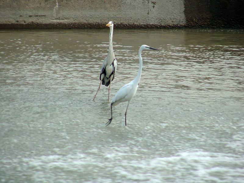 Great Egret and Gray Heron; DISPLAY FULL IMAGE.