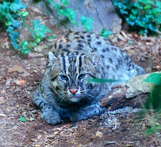 wild cats - Fishing Cat (Prionailurus viverrinus).jpg; Image ONLY