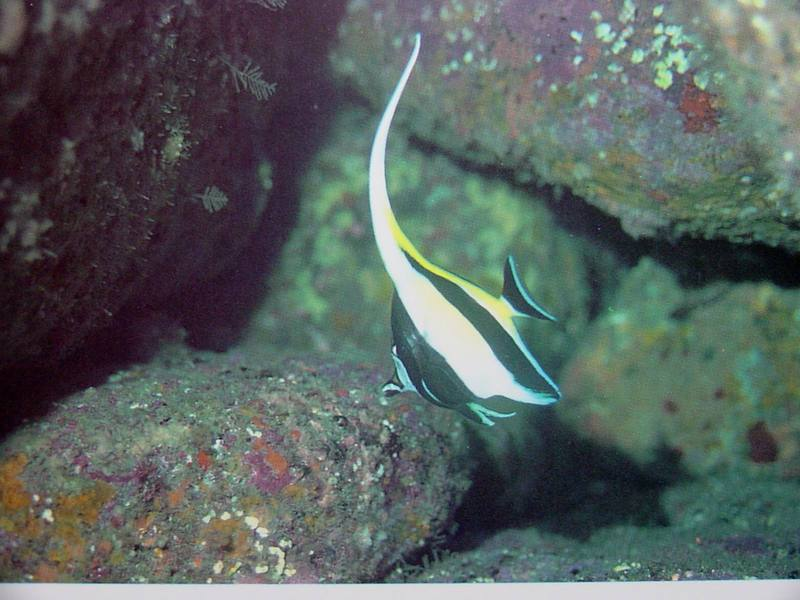 Moorish Idol; DISPLAY FULL IMAGE.