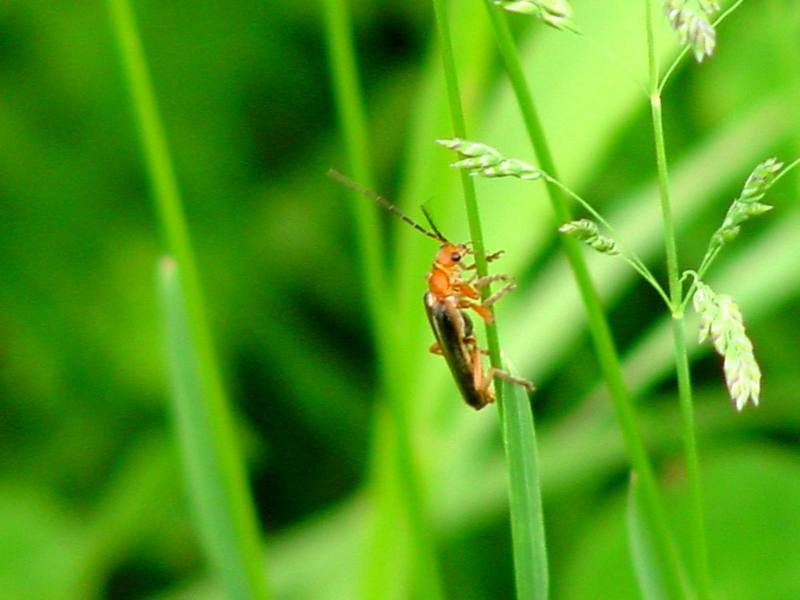 Red soldier beetle; DISPLAY FULL IMAGE.