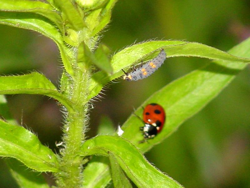 Unknown caterpillar and a seven-spot ladybug; DISPLAY FULL IMAGE.