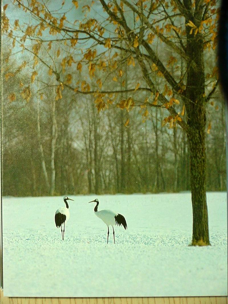 POSTCARD: Red-crowned cranes; DISPLAY FULL IMAGE.