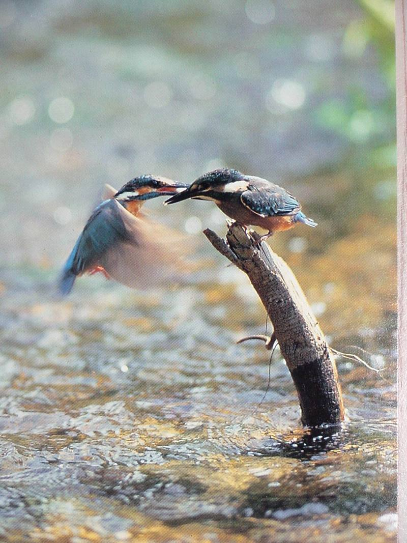 POSTCARD: Common Kingfisher; DISPLAY FULL IMAGE.