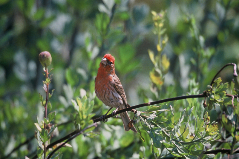 House finch; DISPLAY FULL IMAGE.