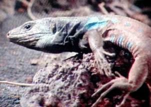 Unknown lizard from Spain - TV capture; Image ONLY