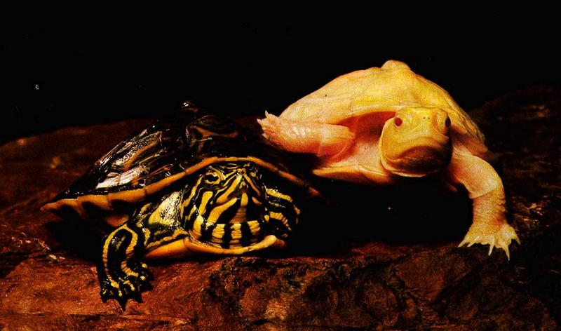 Albino Turtle.jpg