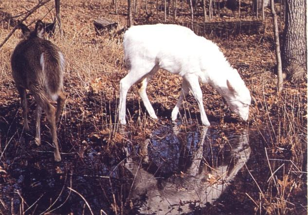 [Albino] White-tailed deer <!--흰사슴-->; Image ONLY