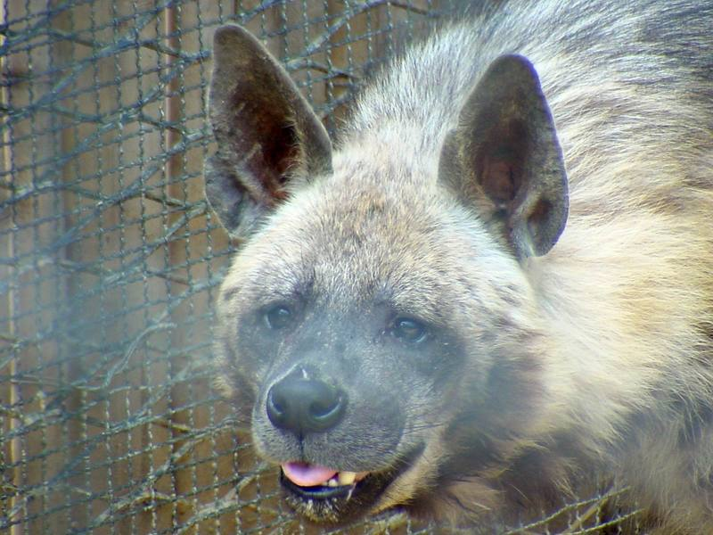 Striped Hyena (Daejeon Zooland); DISPLAY FULL IMAGE.