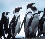 Jackass Penguin.jpg