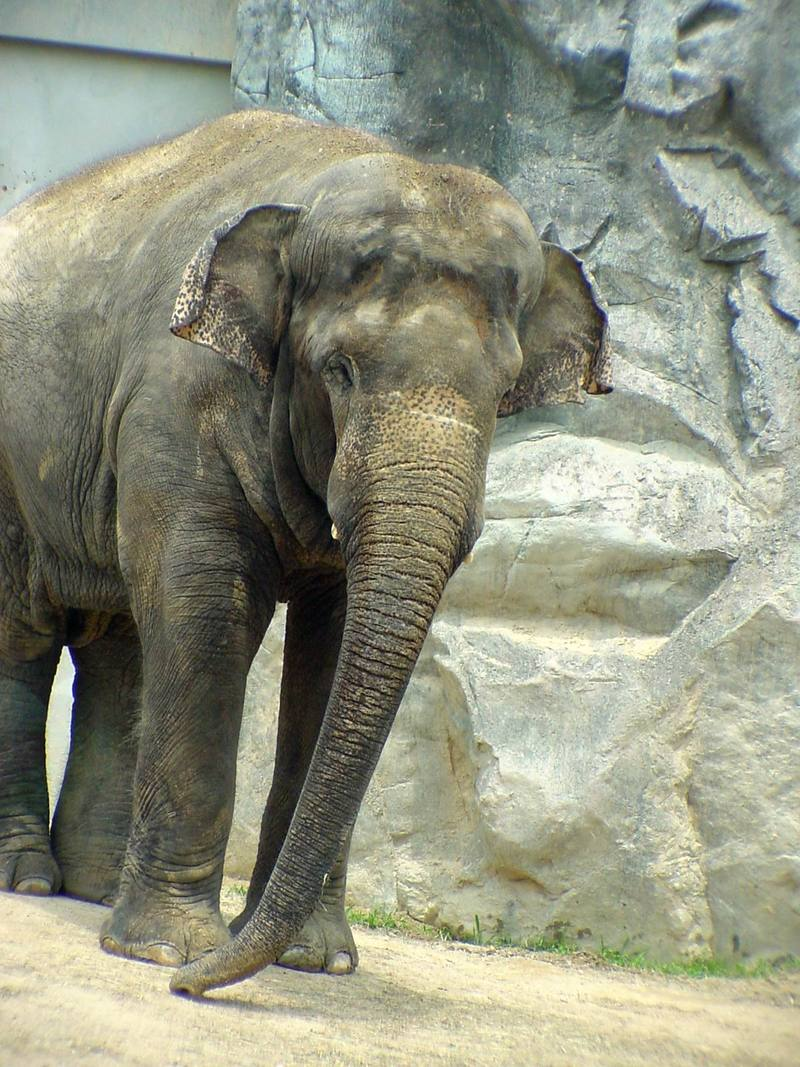 Asian Elephant - Elephas maximus (Daejeon Zooland); DISPLAY FULL IMAGE.
