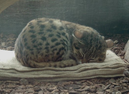 Black-Footed Cat; Image ONLY