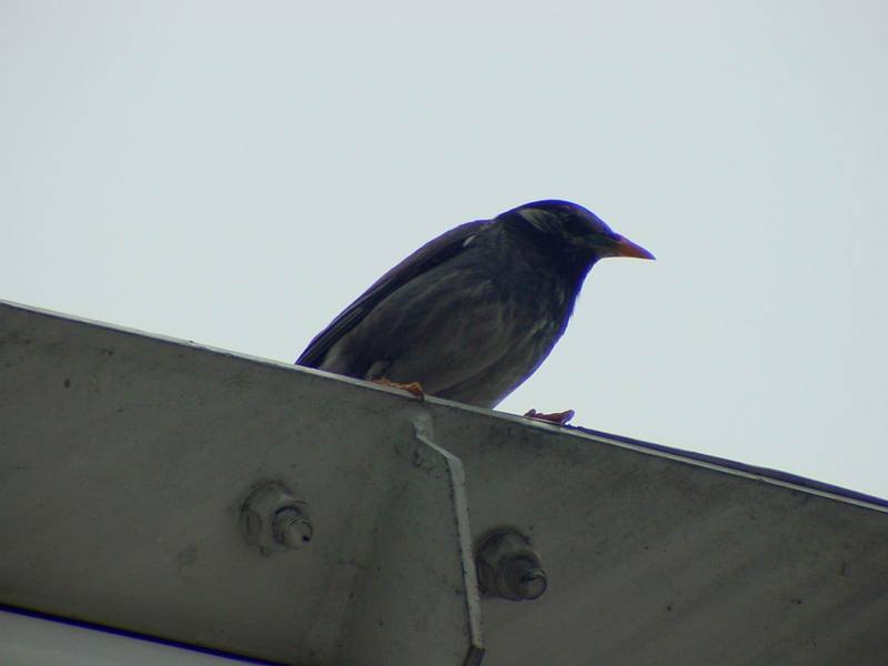 [Birds of Tokyo] Gray Starling <!--찌르레기 / 일본-->; DISPLAY FULL IMAGE.