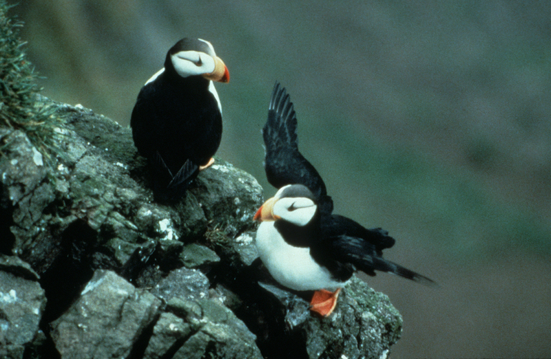 Horned Puffin Pair on Rocks {!--뿔퍼핀-->; DISPLAY FULL IMAGE.