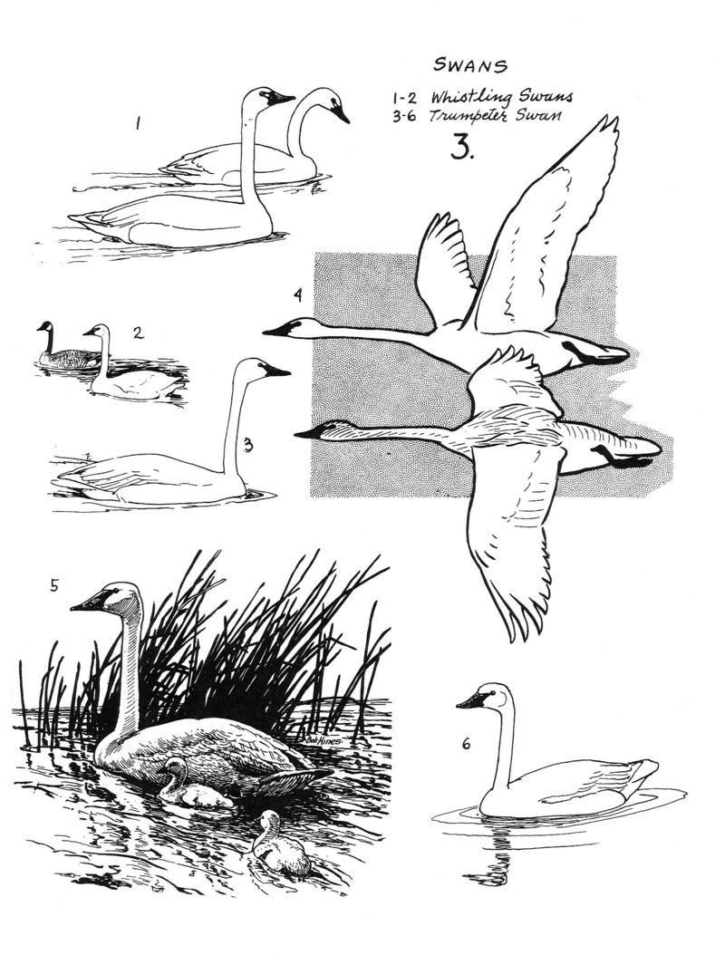 Types of Swans <!--백조 몇 가지 그림-->; DISPLAY FULL IMAGE.