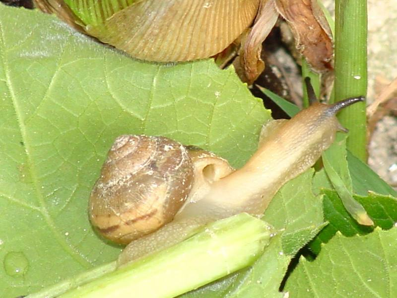 Korean Round Snail <!--달팽이--> at my family farm; DISPLAY FULL IMAGE.
