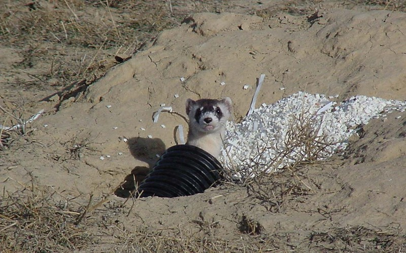 Black-footed Ferret (Mustela nigripes) <!--검은발족제비-->; DISPLAY FULL IMAGE.