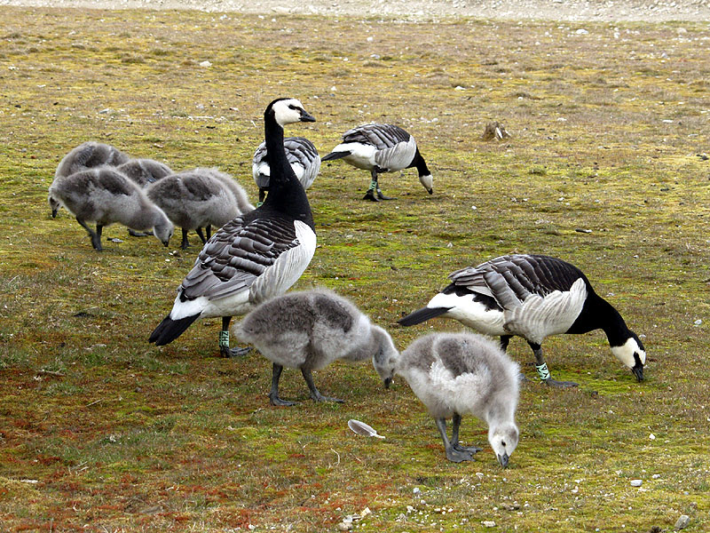 [Arctic Animals] Barnacle Goose (Branta leucopsis) family; Image ONLY