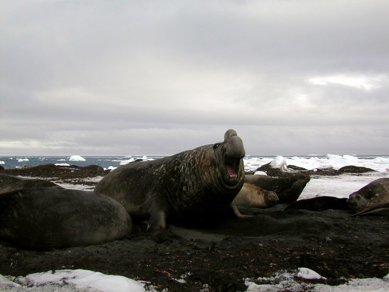 [Arctic Animals] Southern Elephant Seals (Mirounga leonina); DISPLAY FULL IMAGE.