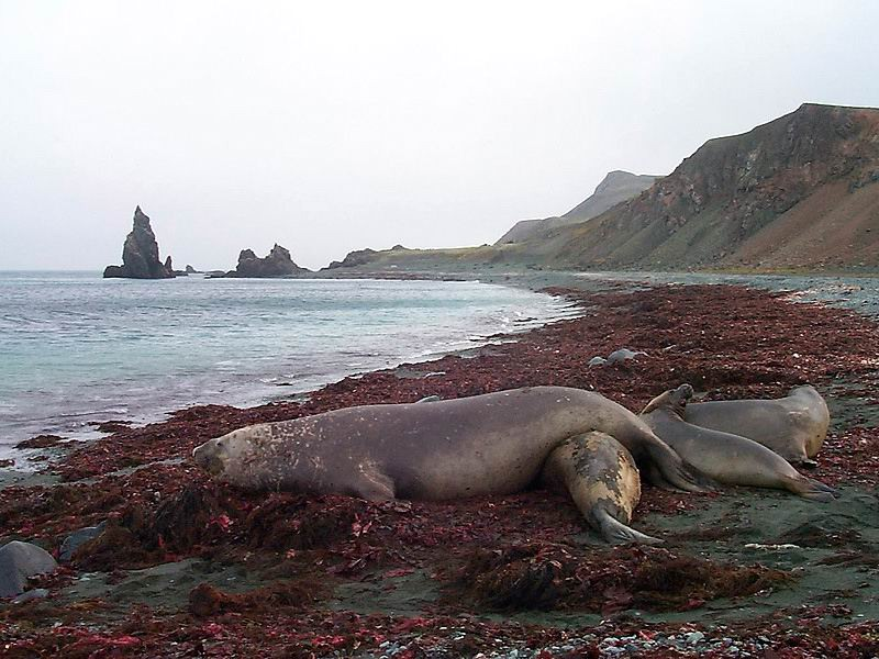 [Antarctic Animals] Southern Elephant Seals (Mirounga leonina); Image ONLY