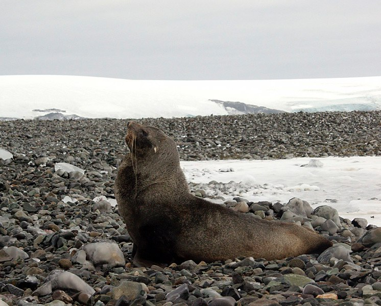 [Antarctic Animals] Antarctic Fur Seal (Arctocephalus gazella); Image ONLY