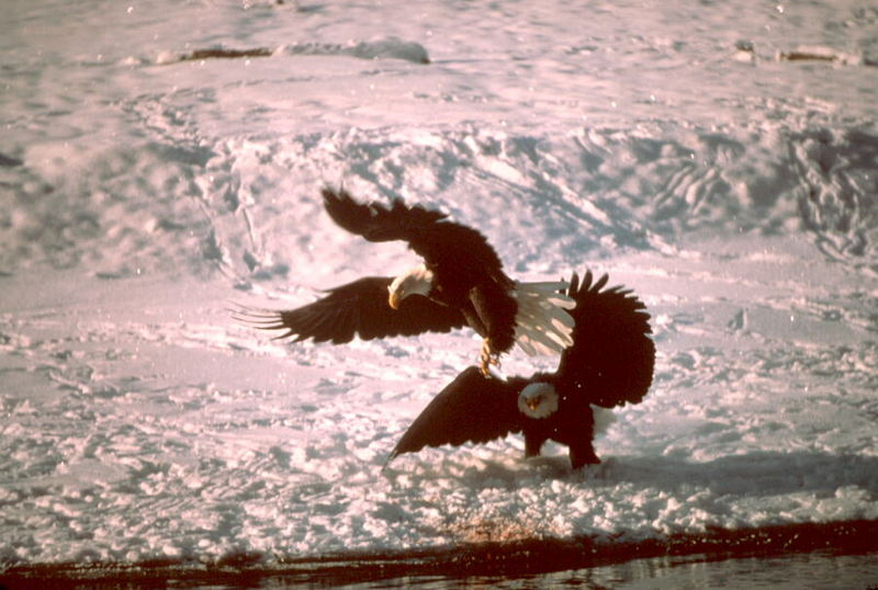 Bald Eagle (Haliaeetus leucocephalus)<!--흰머리수리--> pair on snow; DISPLAY FULL IMAGE.